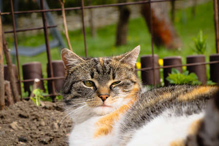 Closeup of a sleepy domestic cat squinting at who woke her. Feline with a colored head sleeps on the dirt in a flowerbed