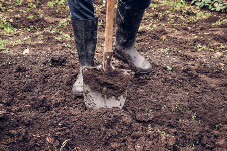 experienced farmer gets better at spade wet clay. Engraving the garden with a unique tool. Hand digging a garden. Autumn adjustments for better harvests. Stock Photo