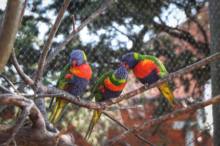 Three brothers Coconut lorikeet sitting on a branch and two of them are fighting over a piece of food. A beautifully colored species of parrot Trichoglossus haematodus.