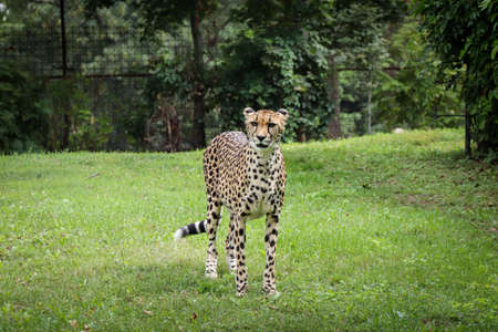 Female Panthera pardus stands proudly in its territory and looks at what is happening in nature. Playful wild cat with a beautifully athletic figure in the wild. Leopard standing motionless in grass.