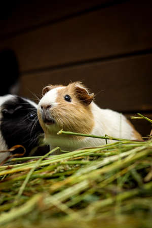hairy Cavia porcellus has a slightly open mouth and looks at its comrades and grinds at the stubborn grass. Wild nature. Being on pasture. Portrait of domestic cavy sits in grass.