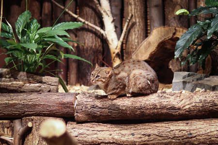 Prionailurus rubiginosus sits dejectedly in a ball on a large wooden log and rests. Rusty-spotted cat with green eyes in a frightened position. Archivio Fotografico