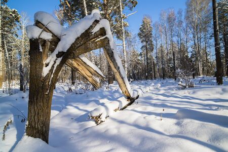 Russia, Siberia, Novosibirsk region, snowy forest in clear weather Stock Photo