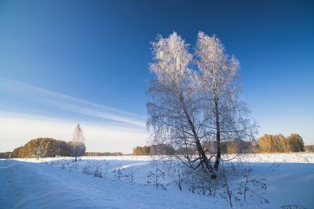 panoramas: Russia, Novosibirsk region, winter landscape with frosted birch. Stock Photo