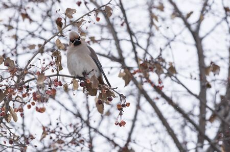 nature one painted: waxwing sitting on a tree branch in winter