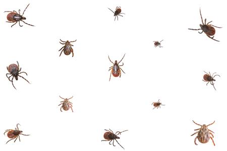 dog tick: Collage of ixodid ticks