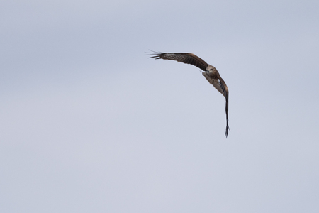 A black kite in the sky in search of food over the Razdelnaya River. Novosibirsk Region, Berdsk, Russia.