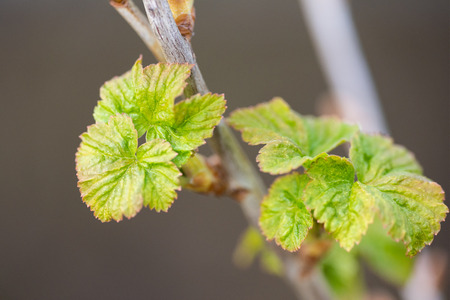 Young freshly blossoming leaves of black currant.