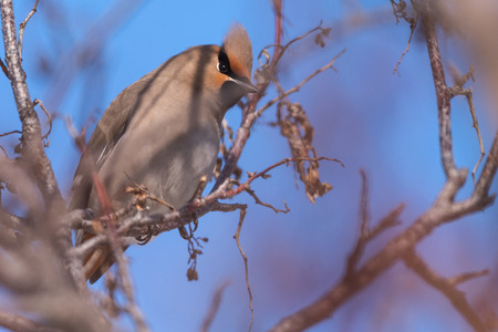 Waxwings on a tree branch close up