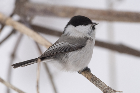 Willow tit (Poecile montanus) sitting on a branch in the wild 版權商用圖片