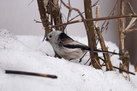 Long-tailed tit (Aegithalos caudatus) close-up in a natural environment in winter. Novosibirsk region, Russia.