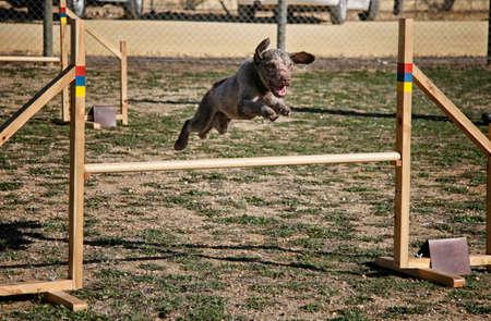 Perro de agua saltando obstáculo de un circuito de agilidad