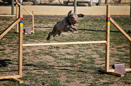water dog jumping obstacle of an agility circuit