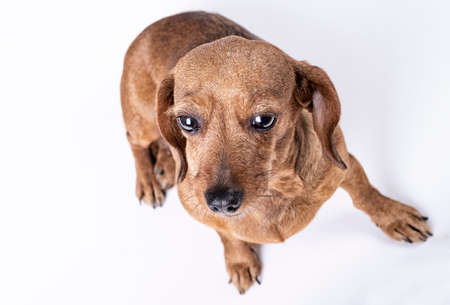 top view of teckel breed dog, on white background