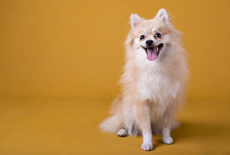 Pomeranian breed dog lying with its head raised and sticking out its tongue on yellow background Standard-Bild