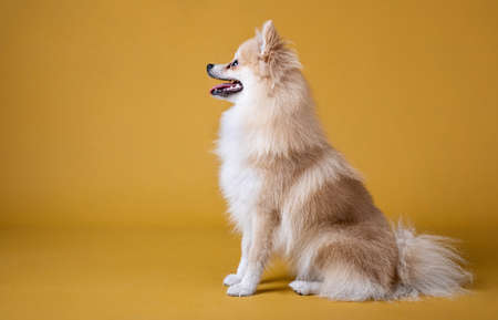 pomeranian breed dog sitting and looking to the left