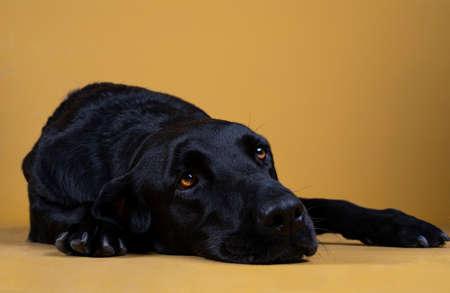 black labrador dog lying on the floor looking sad