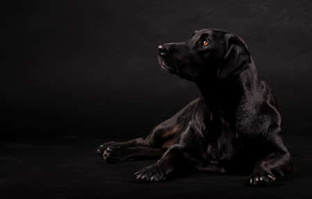 black labrador dog sitting on the floor and looking to the side on a black background