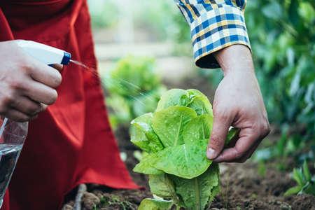 farmer watering a lettuce plant in an organic farming field Imagens