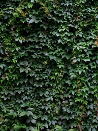 A leaf-covered wall
