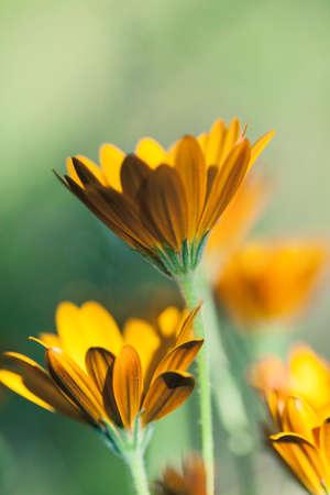 花マクロ撮影、フィールドの浅い深さで黄色の夏の花の抽象的な写真。