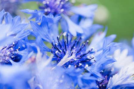 Flower macro shot, abstract photo of a Centaurea cyanus or Cornflower. Beautiful natural background.