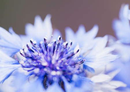 Tiro macro de la flor, foto abstracta de un Centaurea cyanus o aciano. Hermoso fondo natural. Foto de archivo - 91618541