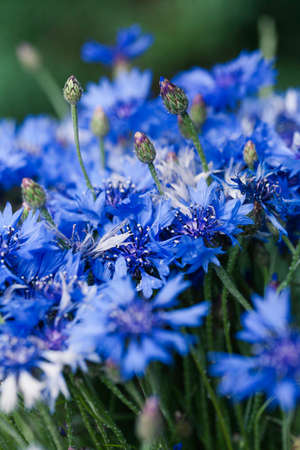 Flower macro shot, abstract photo of a Centaurea cyanus or Cornflower. Beautiful natural background.