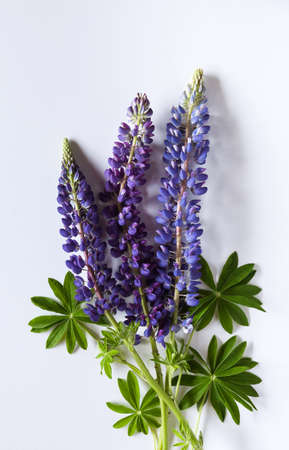 Bouquet made of lupine flowers on white background. Banque d'images