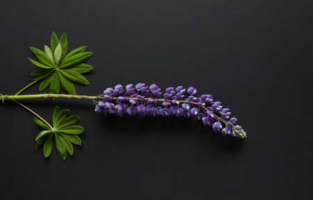 Wild lupine lying on the black background.