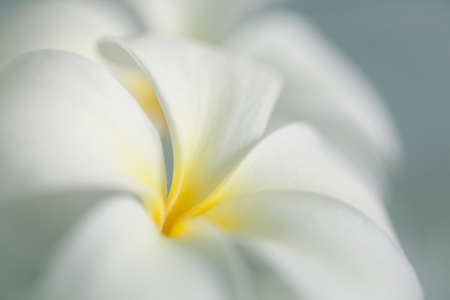 Closeup of frangipani flower with shallow depth of field. Flower macro photo. Abstract floral background.
