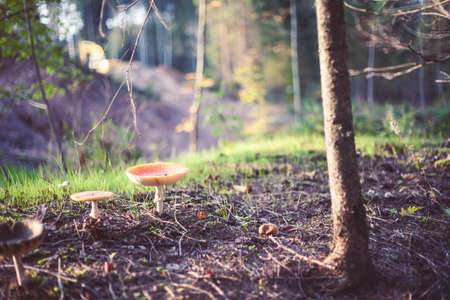 Closeup picture of amanita poisonous with red cap in wild forest in Latvia. Unedible mushroom growing in nature. Botanical photography. Stock fotó - 101928902