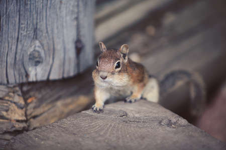 Cute chipmunk looking forward. Wild animal closeup.