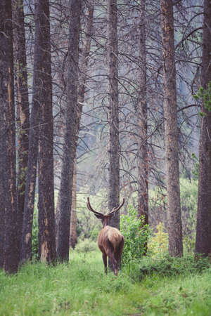 Wild deer walking in the forest