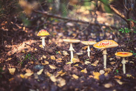 Closeup picture of amanita poisonous with red cap in wild forest in Latvia. Unedible mushroom growing in nature. Botanical photography.