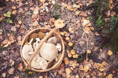 Busket full of wild mushrooms in the forest in Amata, Latvia. Leccinum aurantiacum, Leccinum scabrum, Boletus and other types of edible mushrooms.