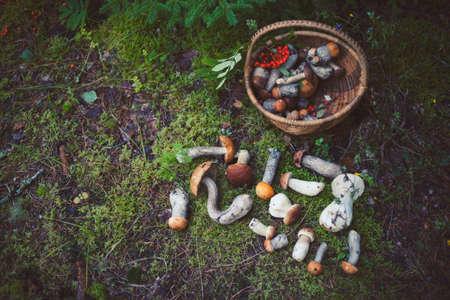Wild mushrooms in the forest in Amata, Latvia. Leccinum aurantiacum, Leccinum scabrum, Boletus and other types of edible mushrooms with basket.