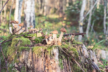 Group of Armillaria mellea frowing on the tree  in wild forest in Latvia. Edible mushroom growing in nature. Botanical photography. Foto de archivo - 102069329