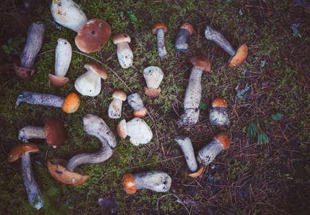Wild mushrooms in the forest in Amata, Latvia. Leccinum aurantiacum, Leccinum scabrum, Boletus and other types of edible mushrooms.