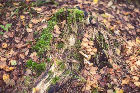 Group of Armillaria mellea frowing on the tree  in wild forest in Latvia. Edible mushroom growing in nature. Botanical photography.