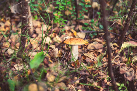 Closeup picture of Leccinum aurantiacum with orange cap growing in wild forest in Latvia. Edible mushroom growing in nature. Botanical photography. 版權商用圖片