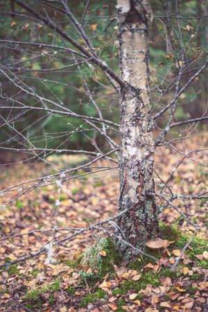 Birch in the autumn Latvian forest. Botanical photography. Stock Photo - 102069344