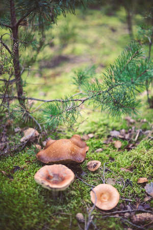 Wild mushrooms in the forest, Amata, Latvia. Edible mushroom growing in nature. Botanical photography. Reklamní fotografie