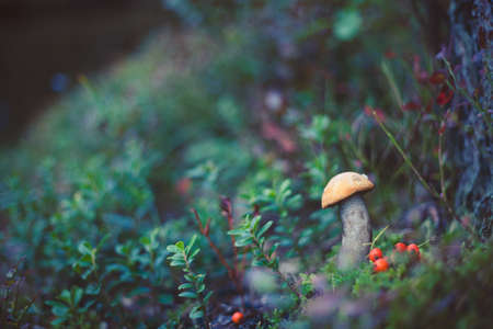 Closeup picture of Leccinum aurantiacum with orange cap growing in wild forest in Latvia. Edible mushroom growing in nature. Botanical photography. Reklamní fotografie