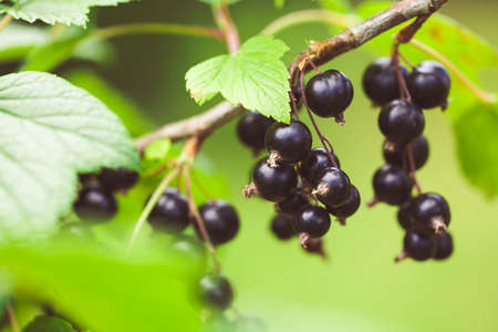 Closeup of black currant growing naturally. Berry in the garden - cultivation and gardening illustration.