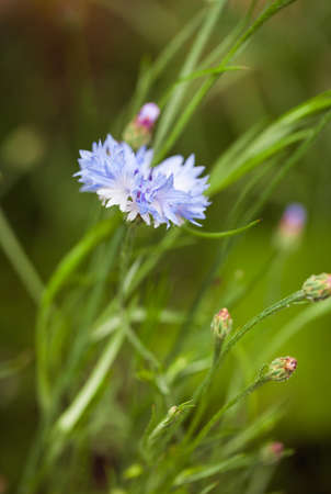 Wild cornflower growing in the grass - nature photography with shallow depth of field. Closeup of blue flower in the meadow. Summer photo. Stok Fotoğraf