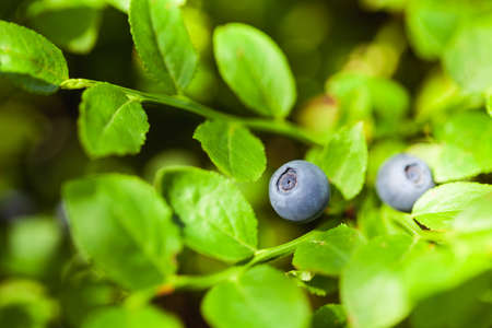 Macro shot of wild blueberry growing in the forest on a bush. Nature photo with shallow depth of field. Stock Photo