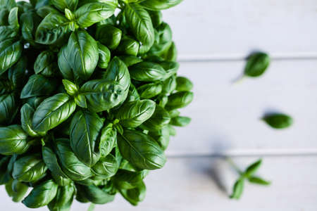 Top view of a basil bush. Macro photo of green food with shallow depth of field.