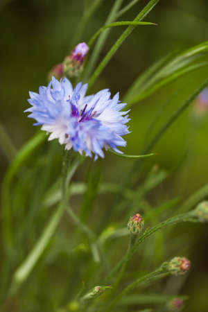 Wild cornflower growing in the grass - nature photography with shallow depth of field. Closeup of blue flower in the meadow. Summer photo. 스톡 콘텐츠