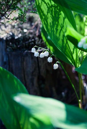 Beautiful lily of the valley (convallaria majalis) flower growing in wild forest in Amata, Latvia. Closeup with shallow depth of field. Flower macro photo. Stock Photo